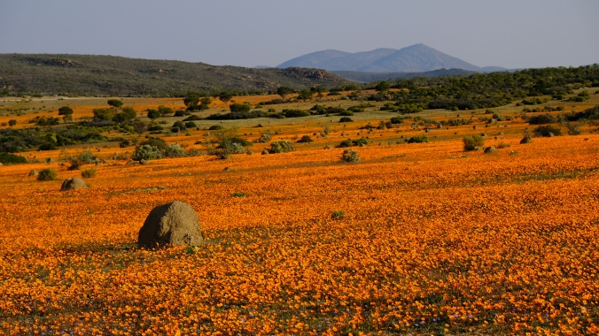 Namaqua National Park - Wildflowers - Justin Hawthorne 00
