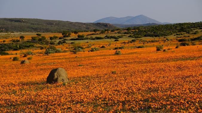 Namaqua National Park - Wildflowers - Justin Hawthorne 00