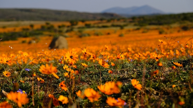 Namaqua National Park - Wildflowers - Justin Hawthorne 03