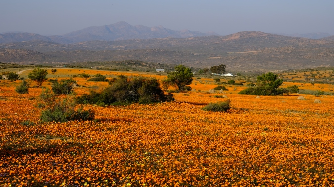 Namaqua National Park - Wildflowers - Justin Hawthorne 04