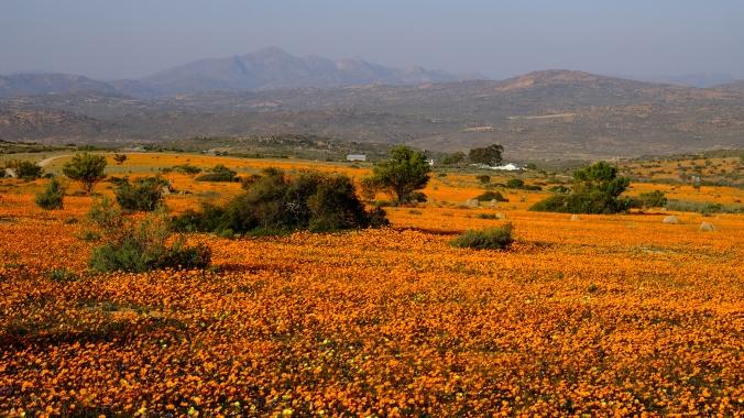 Namaqua National Park - Wildflowers - Justin Hawthorne 04
