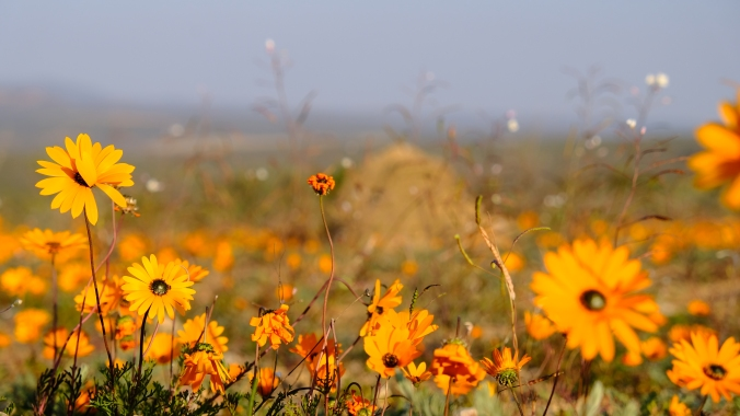 Namaqua National Park - Wildflowers - Justin Hawthorne 07