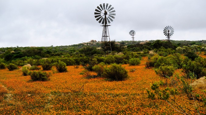 Namaqua National Park - Wildflowers - Justin Hawthorne 16