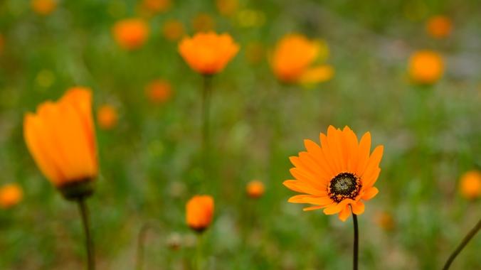 Namaqua National Park - Wildflowers - Justin Hawthorne 18