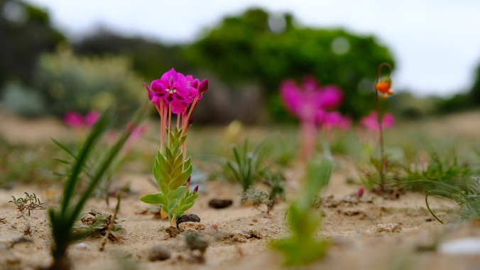 Namaqua National Park - Wildflowers - Justin Hawthorne 20