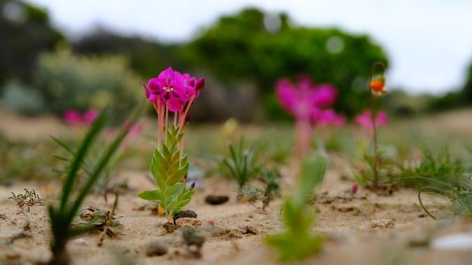 Namaqua National Park - Wildflowers - Justin Hawthorne 20