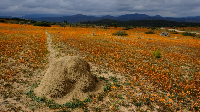 Namaqua National Park - Wildflowers - Justin Hawthorne 22
