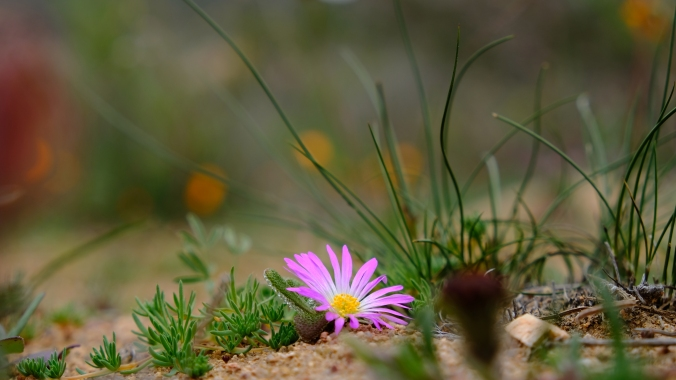 Namaqua National Park - Wildflowers - Justin Hawthorne 28