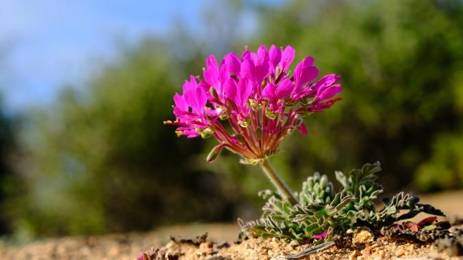 Namaqua National Park - Wildflowers - Justin Hawthorne 37