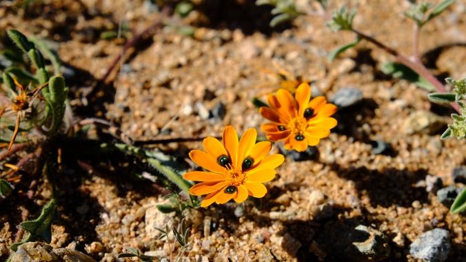 Namaqua National Park - Wildflowers - Justin Hawthorne 39