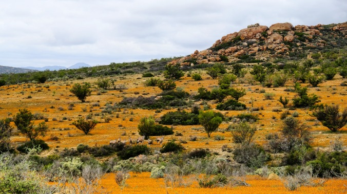Namaqua National Park - Wildflowers - Justin Hawthorne 43