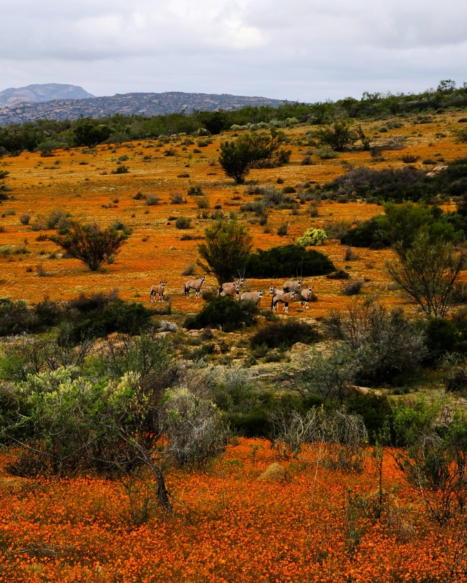 Namaqua National Park - Wildflowers - Justin Hawthorne - Gemsbok