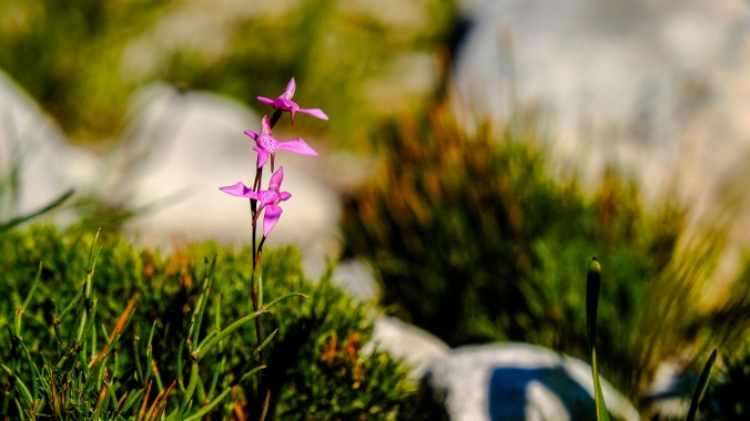 12 Apostles Fire - Justin Hawthorne - 10 months post fire - Orchid