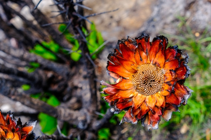 12 Apostles Fire - Justin Hawthorne - coppicing King Protea 3 months post fire