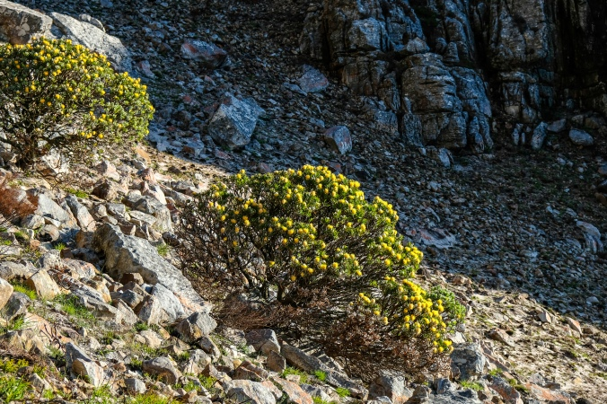 Apostles Fire - Tree Pincushion - 2 months post fire