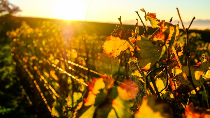 Vineyard Photography - Justin Hawthorne Spiders web at sunrise